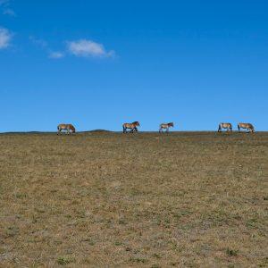 Chevaux Sauvages De Mongolie, Khustai National Parc